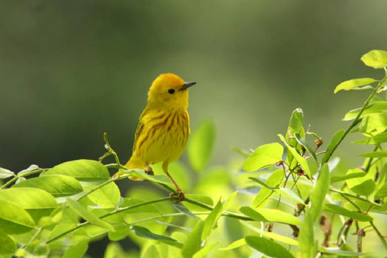 yellowwarbler1609.jpg